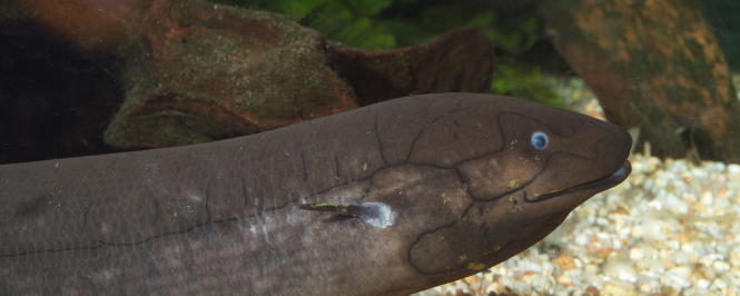 The African Lungfish looks prehistoric