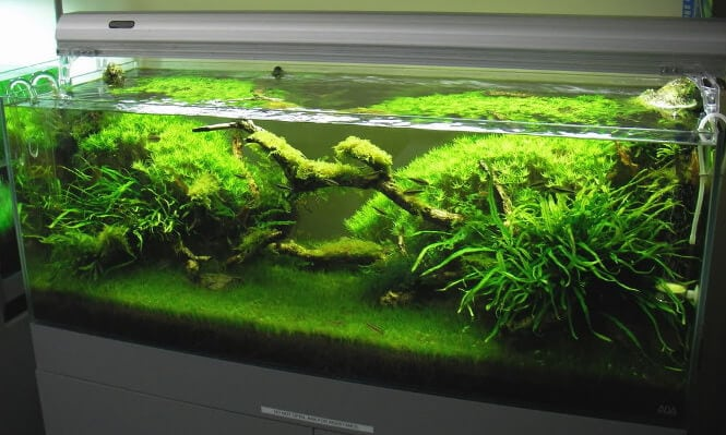 Dwarf Hairgrass A Guide To Growing A Full Blown Carpet In 4 Weeks