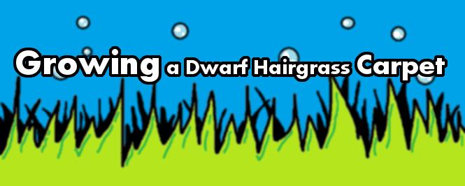 dwarf hairgrass header