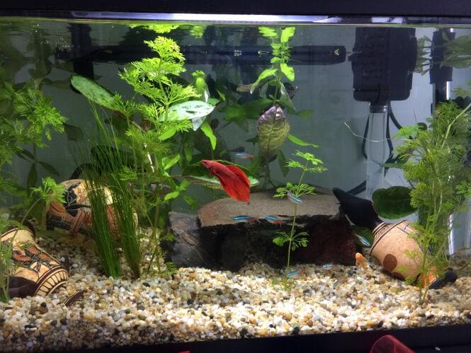 neon tetras and betta fish in a 10 gallon tank