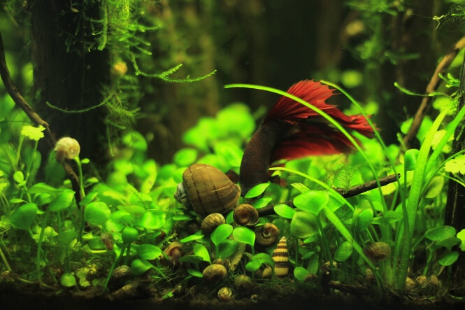 betta fish eating with snails