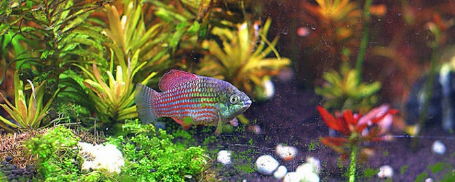 An American Flagfish