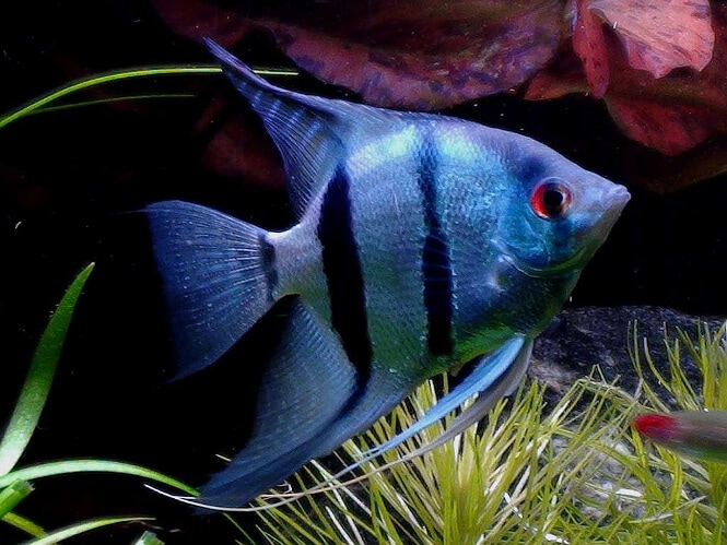 A blue Angelfish
