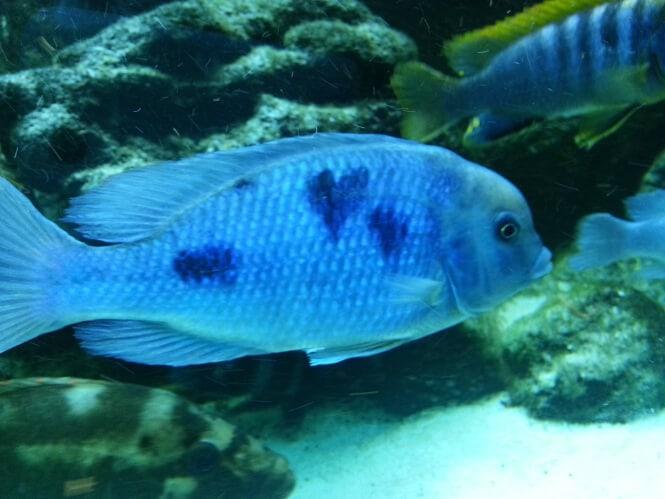 a Blue Dolphin Cichlid