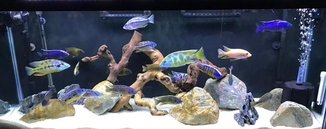 A diverse community aquarium with colorful Cichlid fish