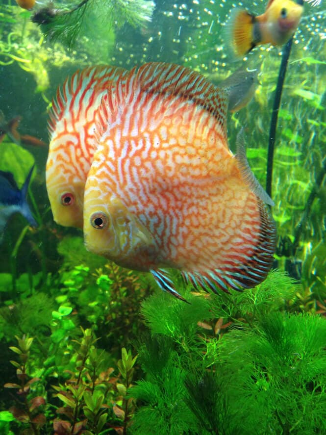 Two Checkerboard Discus Fish