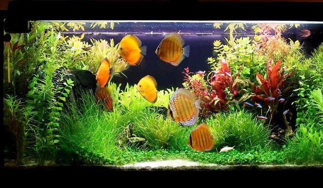 Multiple Discus fish in a large aquarium