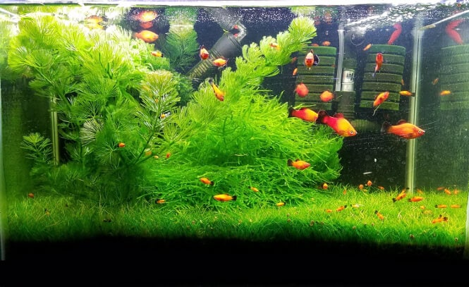 A planted aquarium with Red platy fish