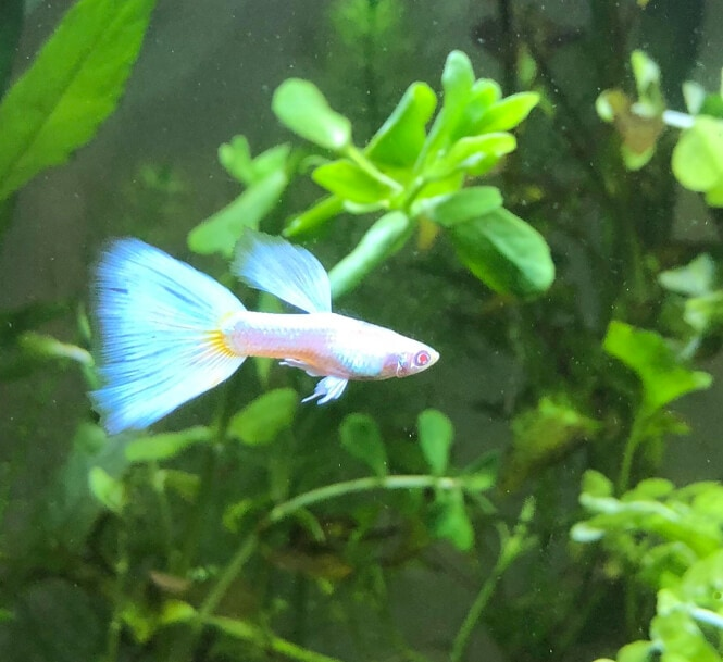 Albino Fancy Guppy