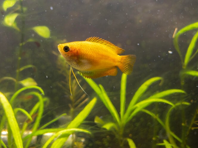 A small Golden Honey Gourami