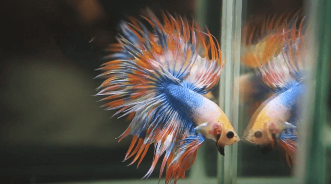 A Crowntail Betta fish