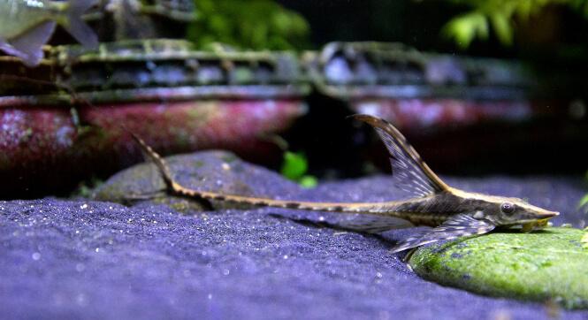 Royal Whiptail Catfish