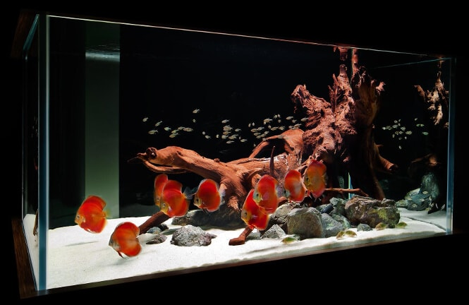 A species-only aquarium with red Discus fish