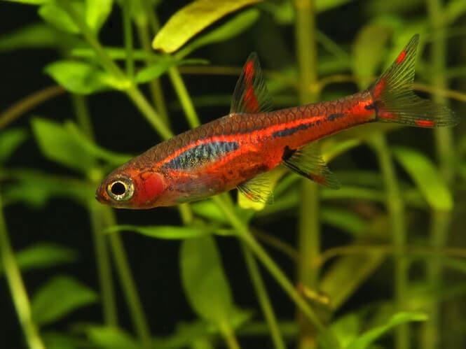 Chili Rasbora fish