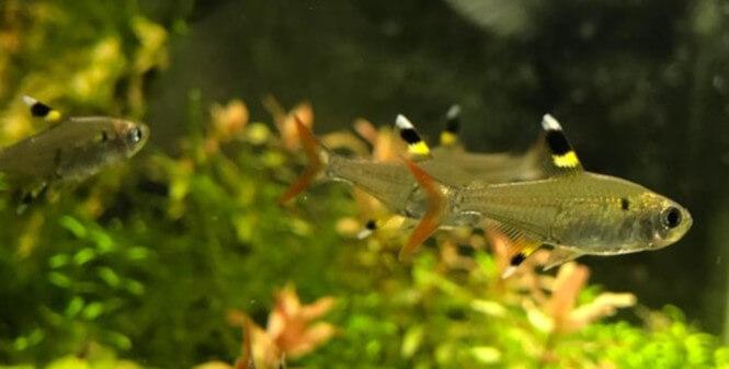 Pristella Tetra fish