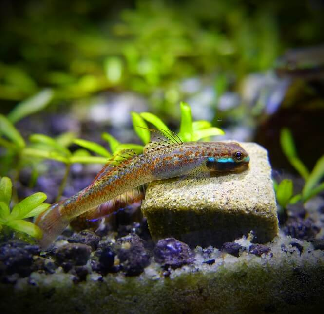Neon Stiphodon Goby on a rock