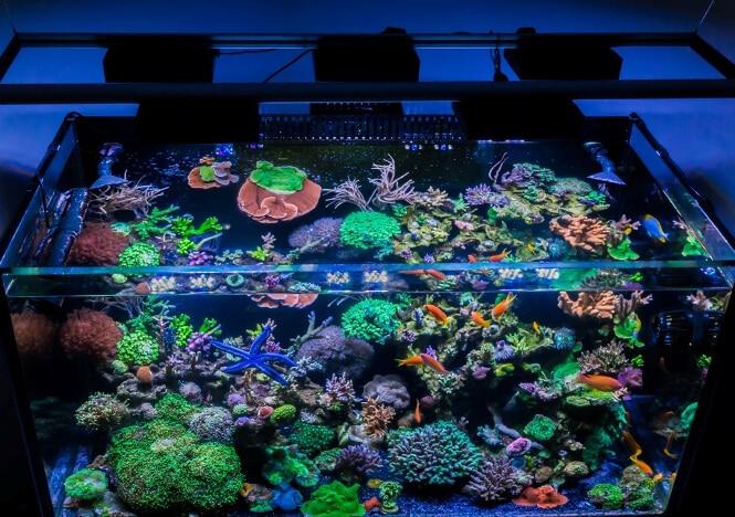 Acropora corals grown under five AI Hydra HD LED fixtures