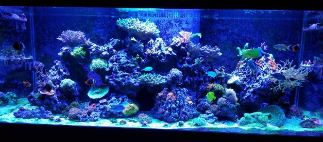 reef tank with sps corals growing under viparspectra