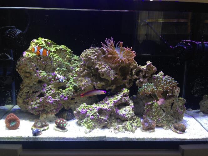 LPS coral reef tank
