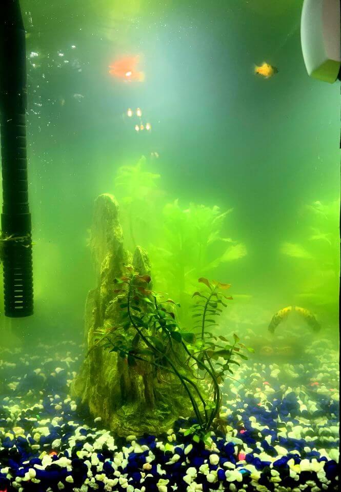 An aquarium that has a cloudy green water.