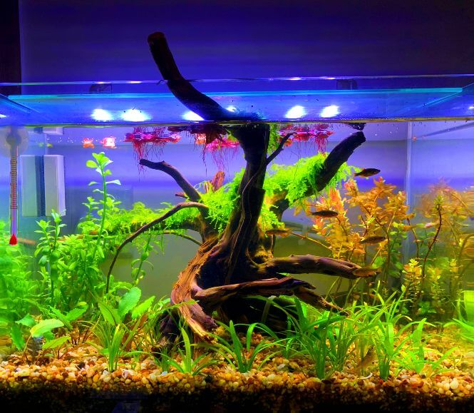A freshwater fish tank with crystal water clarity.