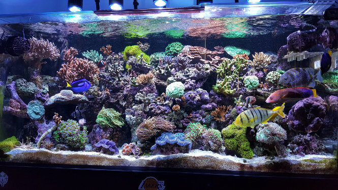 92-gallon saltwater tank with SPS corals