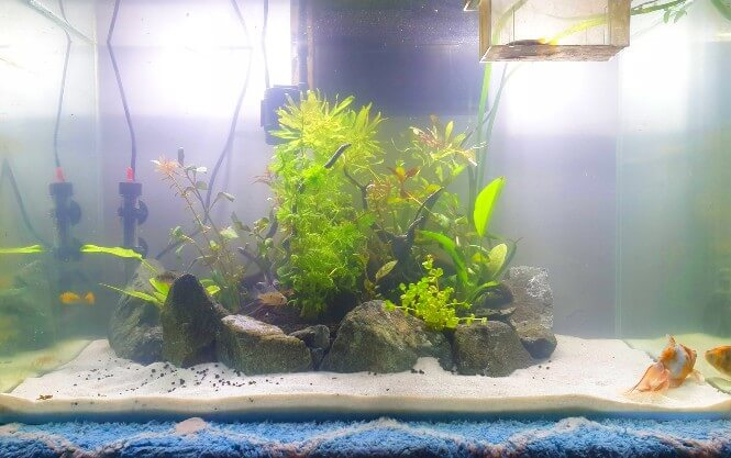 A goldfish fish tank with foggy white water.