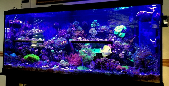55-gallon reef aquarium after 16 months of coral growth