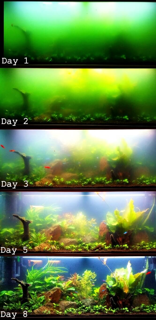 A progression that shows how a UV sterilizer can clear up a bacterial bloom in the aquarium.