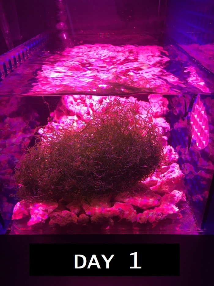 chaeto grown with ai prime fuge day one