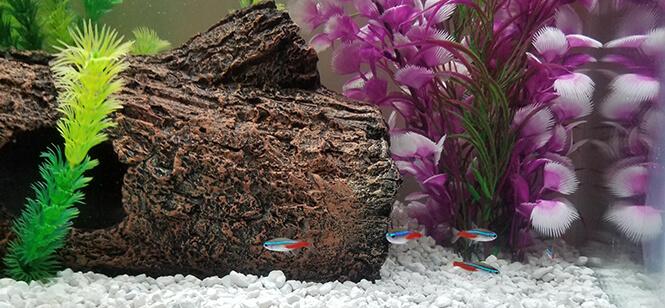 Schooling Neon Tetra fish