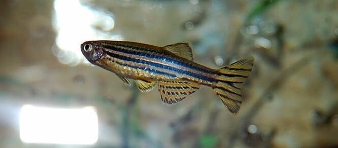 An adult Zebra Danio fish