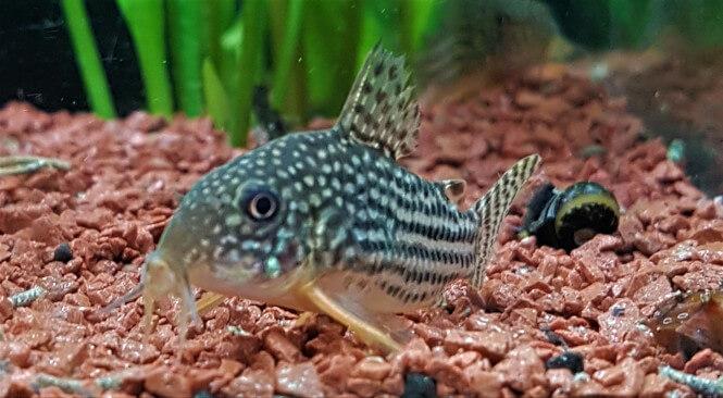 Sterbai Corydora catfish