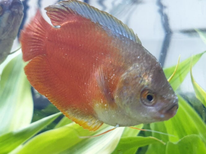gourami with white dots from ich