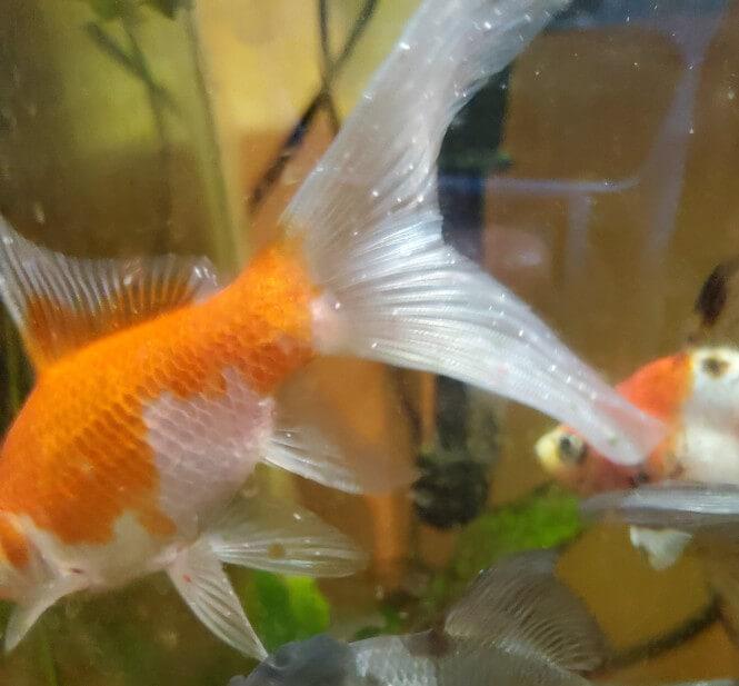 ich on goldfish