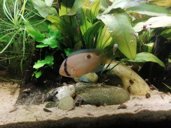 A Keyhole Cichlid fish
