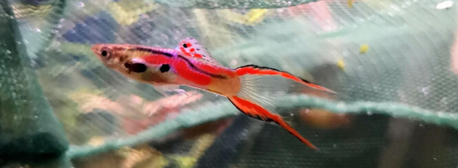 Multicolored Male Endler fish