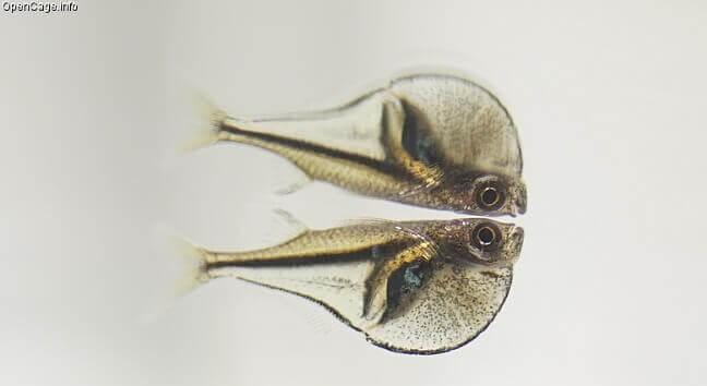 Pygmy Hatchetfish near the water surface