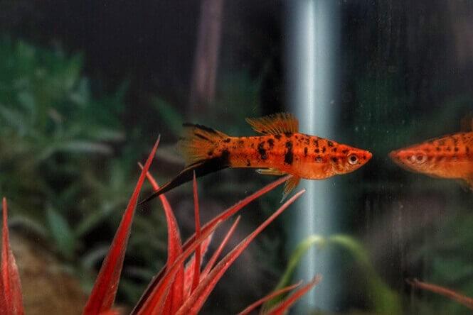 A Swordtail fish