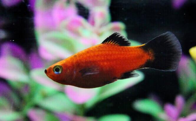 Wagtail Platy fish