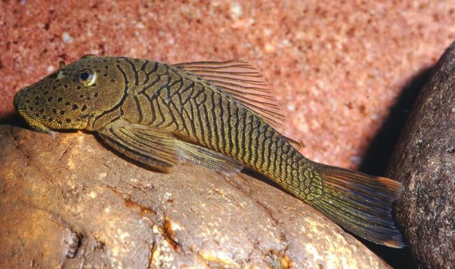 A Rubber Lipped Pleco fish