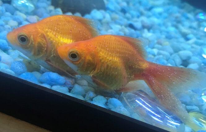 small white spots on goldfish