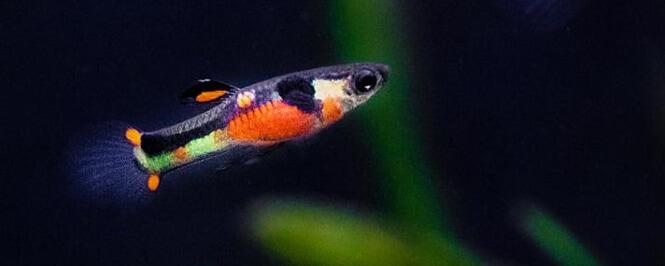 Beautiful Endler's fish