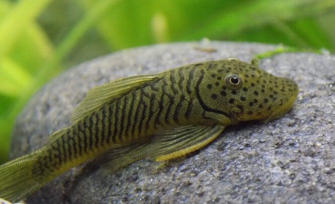Rubber lipped Pleco fish