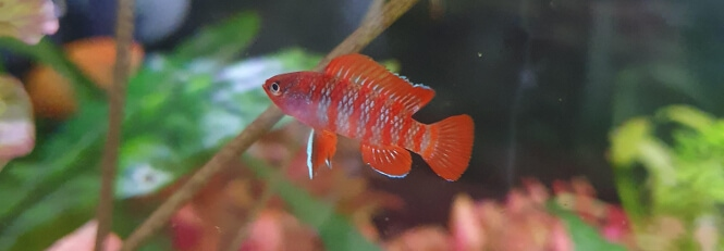 Scarlet Badis in a heavily planted fish tank