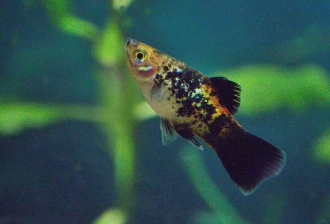 A Variatus Platy fish