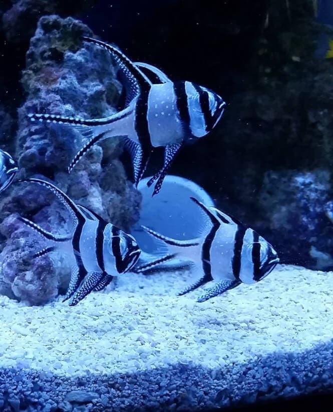 Three Banggai Cardinalfish roaming around in an aquarium.
