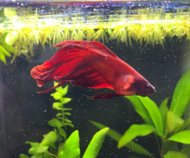 red Betta fish with a swollen belly