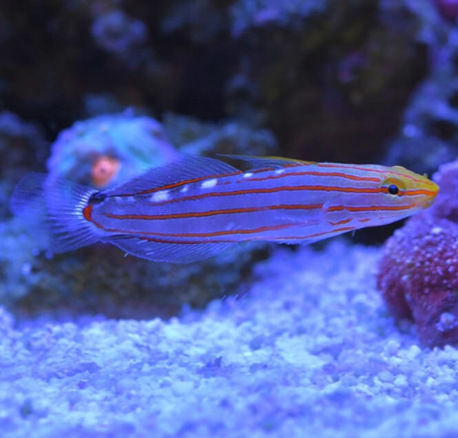 A close-up snapshot of a Court Jester Goby swimming in a saltwater aquarium.