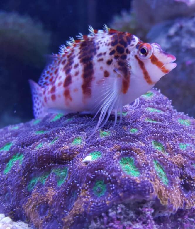 A Falco Hawkfish perching over a coral in a reef tank.